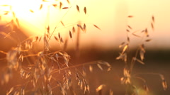 Beautiful yellow plant st sunset, gorgeous nature scenery Stock Footage