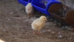 Baby Chickens  walking on dirt farm Stock Footage