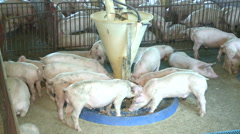 Pigs eating in farm Stock Footage