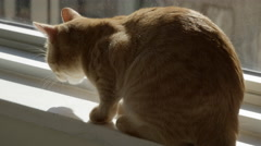 Cat chewing something while sitting on windowsill looking out at city New York - stock footage