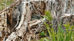 Viper (Vipera Berus) Poisonous Snake in a Dry Stump Stock Footage