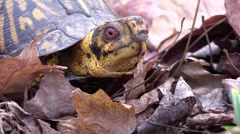 Eastern box turtle fall autumn forest animal closeup Stock Footage