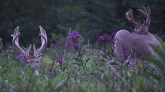 Deer monster whitetail deer buck in velvet bedded down Stock Footage