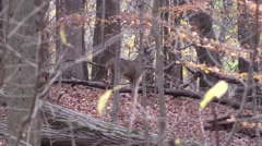 Deer monster whitetail deer buck animal nature forest fall Stock Footage