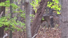 Deer monster whitetail deer buck slowly walks away animal nature forest fall Stock Footage