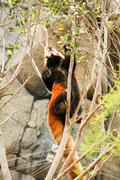 Red panda climbing on tree - stock photo