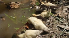 Small ducklings Stock Footage