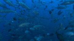School of Caranx fish Stock Footage