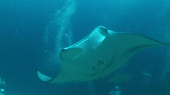 Manta ray  in a ocean.  - stock footage