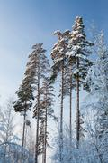 Winter forest pine tree tops in finland at dusk - stock photo
