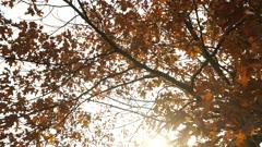 Autumn fall oak tree leaves steadicam 4K. - stock footage