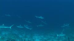 Many Shark swimming - stock footage