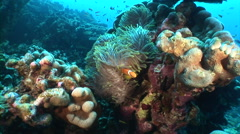 Stock Video Footage of Zoom in anemonefish