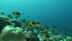 Stock Video Footage of Coral reef and school of yellow fish