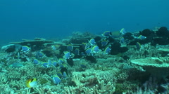 school of powder blue surgeonfish in coral reef - stock footage