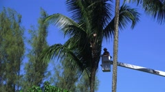 TRIMMING COCONUT TREES, man up high Hawaii Stock Footage