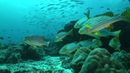 Stock Video Footage of School of Plectorhinchus cinctus