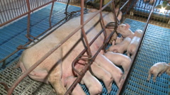 Small pigs in farm creating Stock Footage