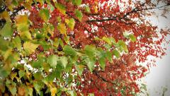 Colorful autumn leaves on trees and bushes. Nature, ecology and environment Stock Footage