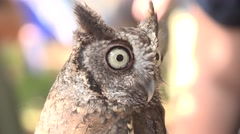 Close Up Sreech Owl Turns Its Head Stock Footage