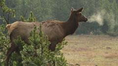 Cow Elks Breath Stock Footage