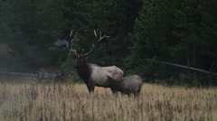 Bull Elk with Cow Stock Footage