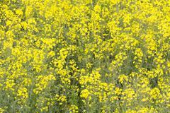 Oil seed rape plants (brassica napus) in full yellow bloom, full frame. Stock Photos
