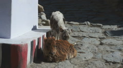 Street scene with yaks, Jomson, Nepal Stock Footage