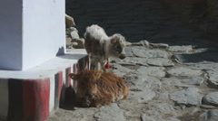 Two young yaks on the street, Kagbeni, Mustang, Nepal  Stock Footage