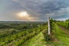 grapevine field in the italian countryside - stock photo