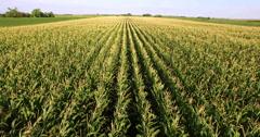 Aerial flight over corn  plant field Stock Footage