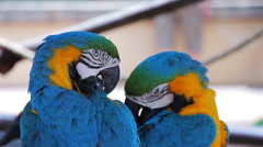 Blue and Gold Macaws cleaning their feathers Stock Footage