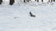 Cute squirrel eating food in winter scene with snow Stock Footage