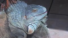 Green iguana slowly opening mouth Stock Footage