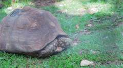 Tortoise slowly sticks head out of shell Stock Footage