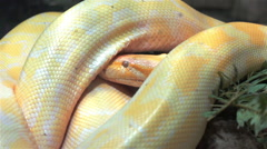 Burmese python moving head under its own body Stock Footage