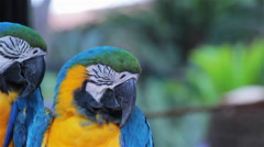 Scarlet and Blue and Gold Macaws perched on a branch. Stock Footage