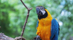 Stock Video Footage of Blue and Gold Macaw eating food.