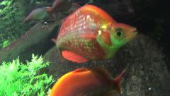 Red Salmon Rainbow Fish Swimming Stock Footage