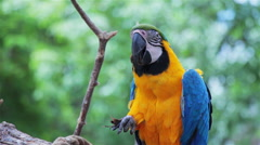 Blue and Gold Macaw eating food Stock Footage