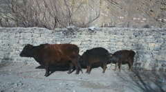 Young yaks on the street, Jomson, Mustang, Nepal  Stock Footage