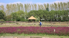 Chinese worker spraying pesticidesin the purple flowerfields Stock Footage