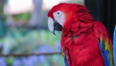 Stock Video Footage of Scarlet Macaw cleaning its feathers