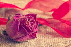 Old rose with a bow on sackcloth - stock photo