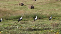 White stork Ciconia ciconia 2 Stock Footage