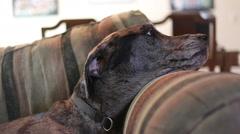 Great Dane Mastiff mix head on sofa Stock Footage