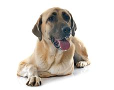 Anatolian Shepherd dog - stock photo