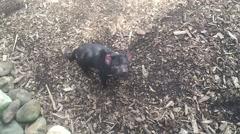 Tasmanian Devil - stock footage