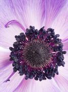 Flower purple anemone Kuvituskuvat