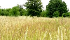 View of the field of yellow long grass surrounded by trees and bushes Stock Footage